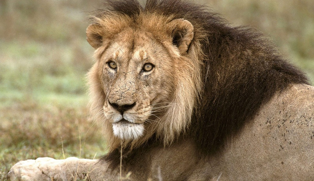 Image result for lion at Ranthambore